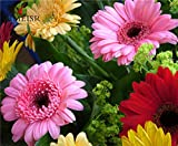 #7: ANTIER GERBERA MIXED FLOWER SEEDS (AVG 30-50) SEEDS X 1 PACKET