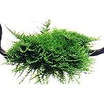 Tropica Vesicularia dubyana Christmas Moss 1-2-Grow Tissue Culture In Vitro Live Aquarium Plant Shrimp Safe & Snail Free 7