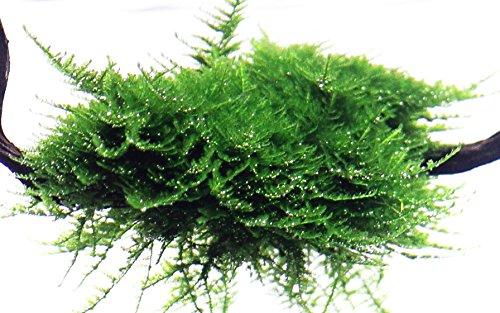 Tropica Vesicularia dubyana Christmas Moss 1-2-Grow Tissue Culture In Vitro Live Aquarium Plant Shrimp Safe & Snail Free 3