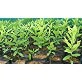 Azalea Garden White Sandal Wood Santalum album Chandan Tree Seedling Plant (1 healthy Live Plant)