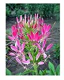 Spinnenblume Rose Queen - Cleome hassleriana - Blume - 100 Samen