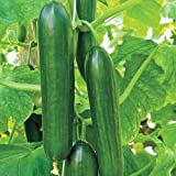 Seedscare Cucumber Parthenocarpic OP, Imported Beit Alpha Seeds (Pack of 30)