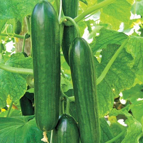 premier-seeds-direct-cuc15-small-cucumber-beth-alpha-finest-seeds-pack-of-60