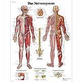 3B Scientific Lehrtafel - Das Nervensystem