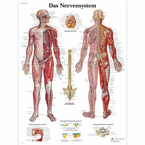 3B Scientific Lehrtafel laminiert - Das Nervensystem
