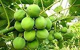 Jatropha curcas, carburante e fertilizzanti dal loro giardino, bella pianta contenitore !!