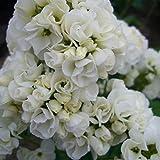 lichtnelke - Gefüllte Flammenblume (Phlox paniculata) Tiara®