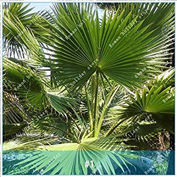 Galleria fotografica ZLKING 10 pc cinese raro Semi Palma Bonsai sempreverde Cortile giardino bonsai esotiche tropicali Semi ornamentali pianta 1