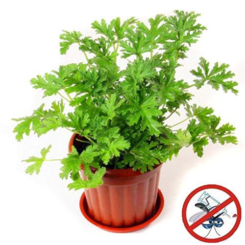 Plentree 100 semillas Pcs Plant Riddex Mosquito Ahuyentadores Grass Mozzie Buster Sweetgrass
