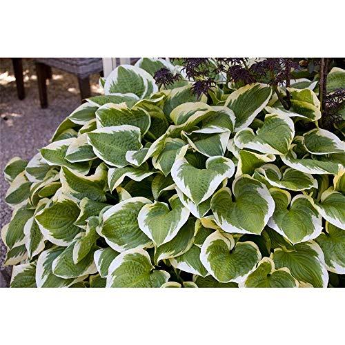OBI Pflanze alle 2 bis 3 Jahre teilen