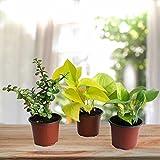 #2: Ugaoo Money Plant Golden Pothos And Jade Combo Of Good Luck Plants