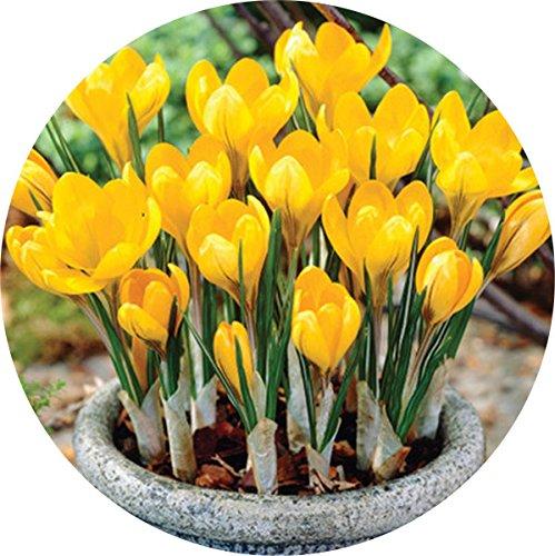 zafferano-bulbi-paesi-bassi-crocus-sativus-fiore-pianta-rara-bonsai-fiore-piante-da-fiore-bulbi-fres