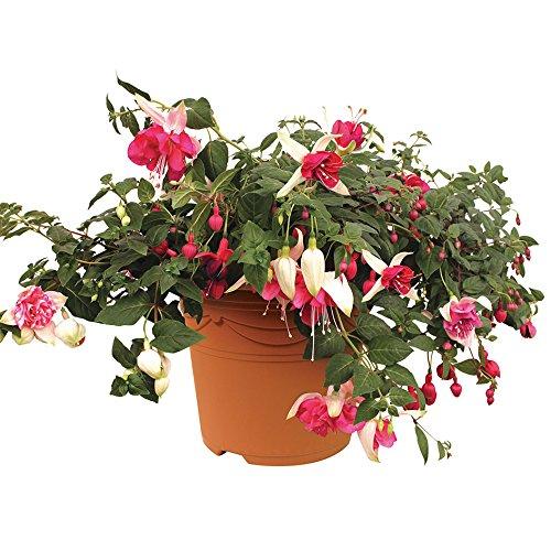 fuchsia-giant-6-jumbo-ready-plants-mixed-colours-6