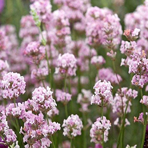 Saver 8pcs lavandula angustifolia rosea Lavendelsamen