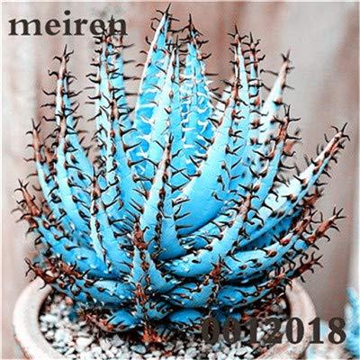 Plentree Pacchetto semi: 100 pezzi Succulente Aloe Bonsai Rare Polyphylla rotazione Aloe Vera regina Bonsai Piante grasse per la casa e amp; Giardino: 7