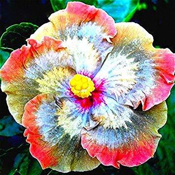 Pinkdose4: Davitu 50 Teile/paket Riesen Hibiscus Blumensamen Garten & Home Mehrjährige Topfpflanzen Blumen (Farbe: 4) - Topfpflanze Hibiscus