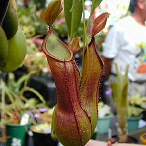 Nepenthes alata carnivora vaso 8 10cm for Piante acquisto