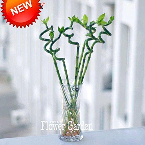 Nuovi semi 2015! Semi di Lucky Bamboo piccole piante in vaso Purify Dracaena Semi, Piantare semplice per la casa e il giardino, 100 pc / lotto, #