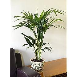 Zimmerpflanze für Wohnraum oder Büro – Howea forsteriana – Kentia-Palme – Paradies-Palme. Höhe 70cm.