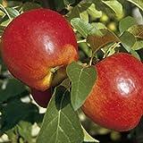 Grüner Garten Shop Nela (S) saftig süßer Sommerapfel beliebter Kinderapfel Apfelbaum als Buschbaum 150-170 cm 10 Liter Topf Veredelungsunterlage M7