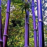 50 Stück / Packung Samen Seltene Lila Bambus Samen Glücksbambus Garten Pflanzen Samen Garten-Dekoration Bonsai Blumensamen Rot