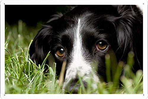 Metall Poster Platte Wand-Dekor Blechschild von English Springer Spaniel Look Macro Dog Grass 31712 20*30cm (Springer Platte Spaniel)