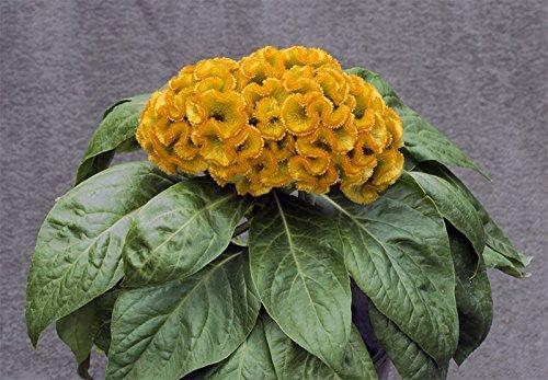 Pinkdose® Pinkdose Blumensamen: Celosia Argentea Blumensamen für den Korb Schönheit Farbe Blumensamen (7 Pakete) Garten Pflanzensamen von