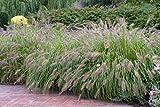 Asklepios-seeds - 500 Samen Pennisetum alopecuroides Rot, Federborstengras oder Australisches Lampenputzergras