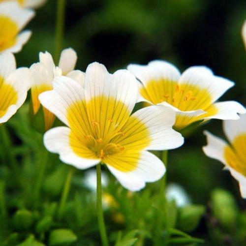 Meadowfoam Seed (Plant World Seeds - Limnanthes Douglasii Seeds)