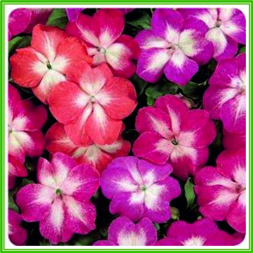 ajp-impatiens-busy-lizzie-f1-dezire-series-starburst-mixed-seed