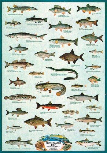 tional - Bildung - Freshwater Fish Süsswasser Fische  - Größe (cm), ca. 68x98 - Poster, NEU - Version in Englisch - Beschreibung: - Bildung, Lernposter - Name der Fische in lateinisch, englisch, französisch und italienisch - ()