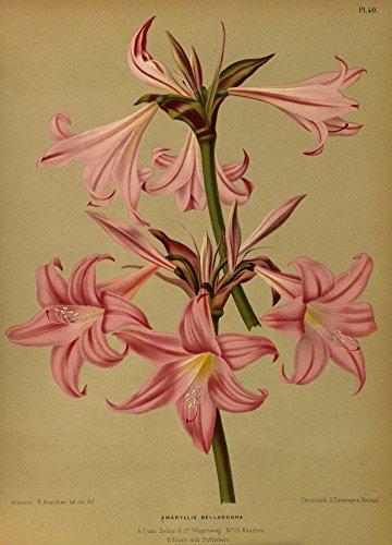 The Poster Corp Arentine H. Arendsen – Haarlem's Flora 1872 Amaryllis Belladonna Kunstdruck (45,72 x 60,96 cm)