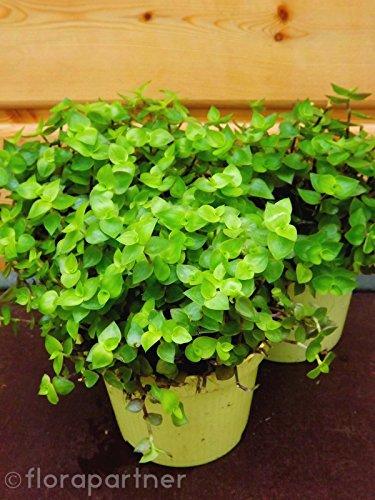 Futterpflanze, für Heimtiere Nager Vögel Reptilien, Calisia Repens, 1stk. Pflanze