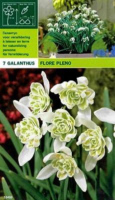 Galanthus Flore Pleno - Gefülltes Schneeglöckchen von MOSSELMAN - Du und dein Garten