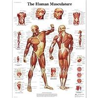 3B Scientific Human Anatomy - Human Musculature Chart, Laminated Version