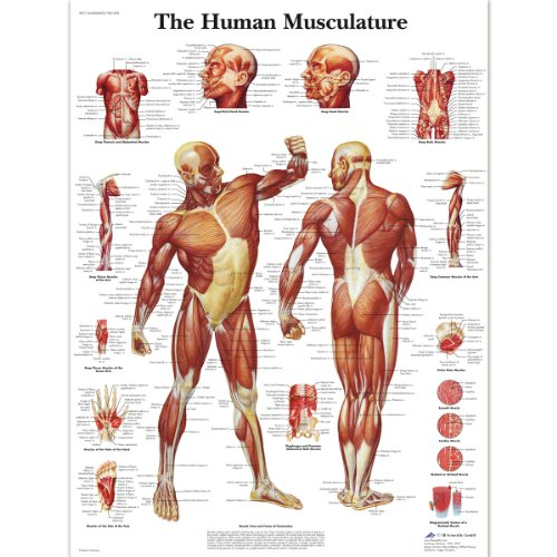 3B Scientific - Póster plastificado de los músculos del cuerpo humano
