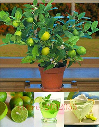 20pcs / semillas de lima kaffir bolso, semillas de cal, (Citrus aurantifolia), semillas de frutas orgánicas, Bonsái fruta de limón para el jardín de