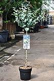 Palmenmann Eukalyptus (Blaugummibaum) Stämmchen - Eucalyptus gunnii