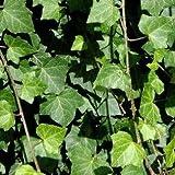 Irischer Efeu, Hedera helix hibernica 40-60 cm