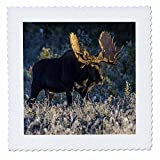 3dRose QS_ – 54974 _ 9 Bull Moose in Early Morning