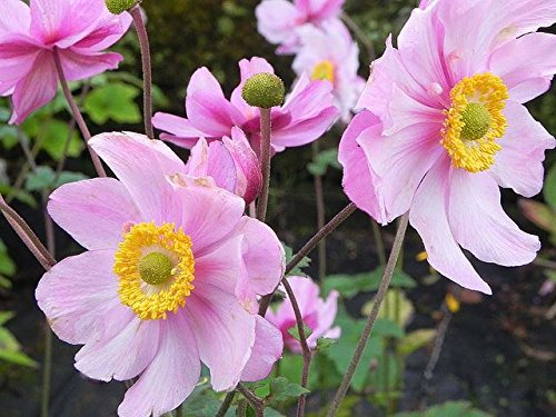 Anemone Japonica Queen Charlotte Plant in 17cm Pot. Windflower