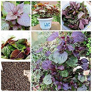 Vistaric Perilla Frutescens Samen Organische Gemüsesamen Aromatische Bonsai Pflanzen Samen Seltene Lila Perillasamen Bonsai Hausgarten 50 Stücke