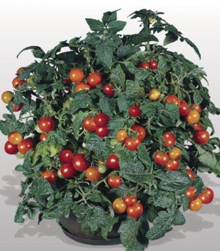 Tomaten Obsttomate Benarys Gartenfreude Samen
