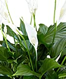 Spathiphyllum, Höhe 75-85 cm