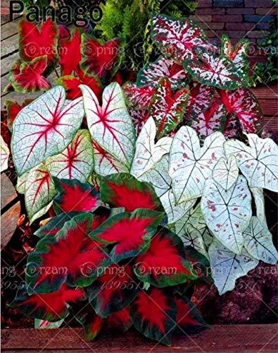(Shopmeeko 5 stücke Große blatt Palm blume Seltene blume bonsai Exotische Pflanzen Baum Bonsai Töpfe Pflanzgefäße Tropische Zier Balkon für Hausgarten: 4)