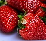 Dehner Erdbeer-Sortenmischung
