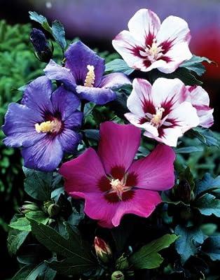 Roseneibisch, (Hibiskus syriacus), rot blühend, 1 Strauch von Amazon.de Pflanzenservice auf Du und dein Garten