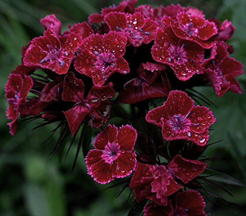 Sweet William Black Magic Samen - Dianthus barbatus - 450 samen - Dianthus Barbatus