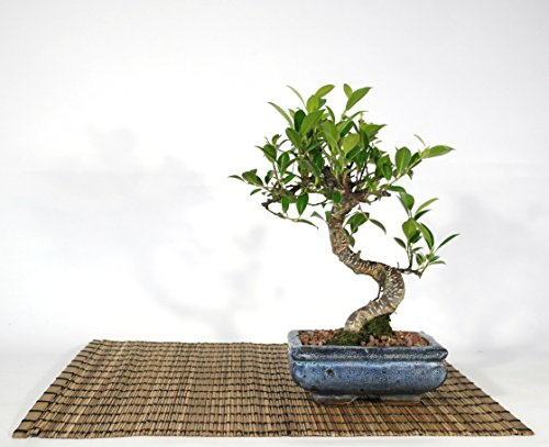 Bonsai de Ficus Retusa dans un vase rectangulaire cm. 15