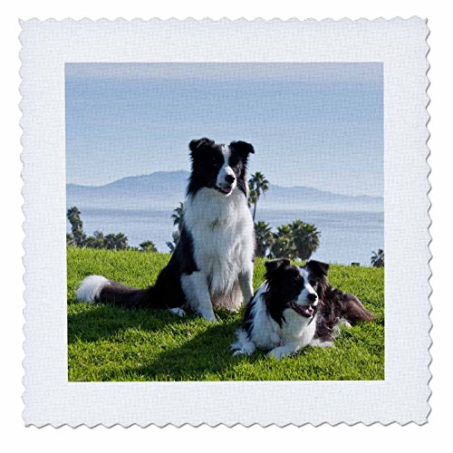 Hunde–Zwei Border Collie Hunde–US05zmu0093–Zandria Muench Beraldo–Quilt Squares, Polyester, 14x14 inch quilt square (Quilt Square Hund)